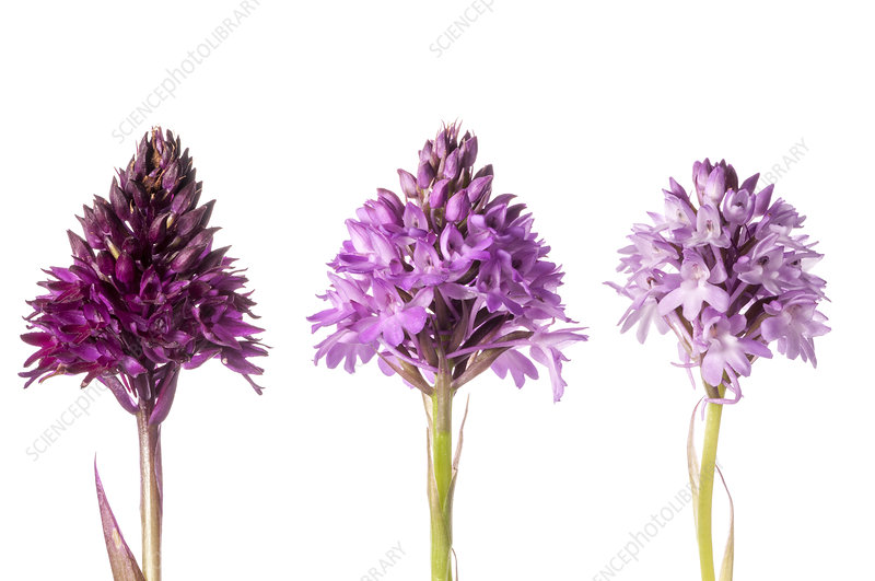 Pyramidal Orchid (Anacamptis pyramidalis) colour varieties