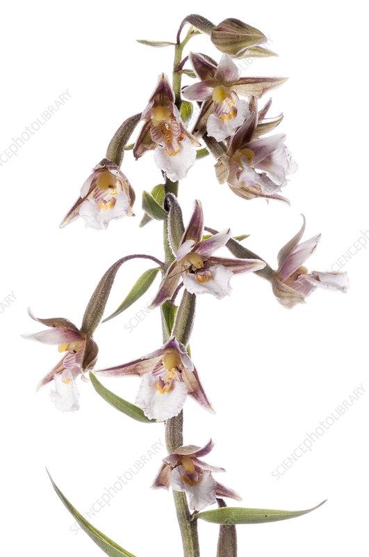 Marsh Helleborine (Epipactis palustris) in flower