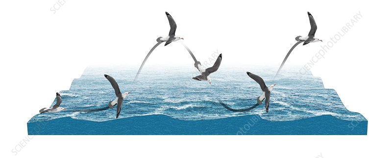 Albatross flying using dynamic soaring, illustration