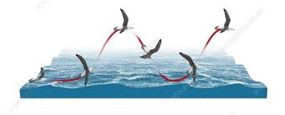 Albatross flying using dynamic soaring, illustration