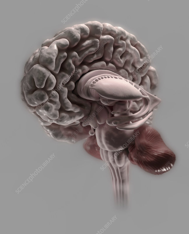 Cross section through human brain, illustration