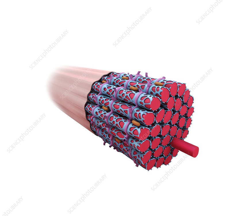 Muscle fibre structure, illustration