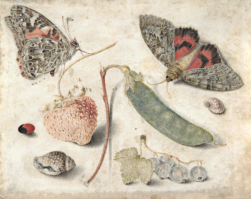 Fruits, insects and shells, historical illustration