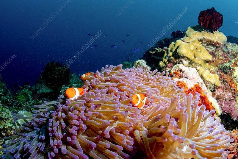 Clownfish in anenome