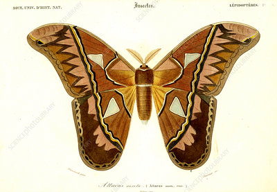 Atlas moth, 19th Century illustration