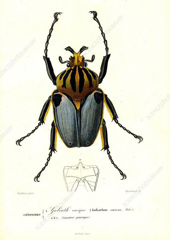Goliath beetle, 19th Century illustration