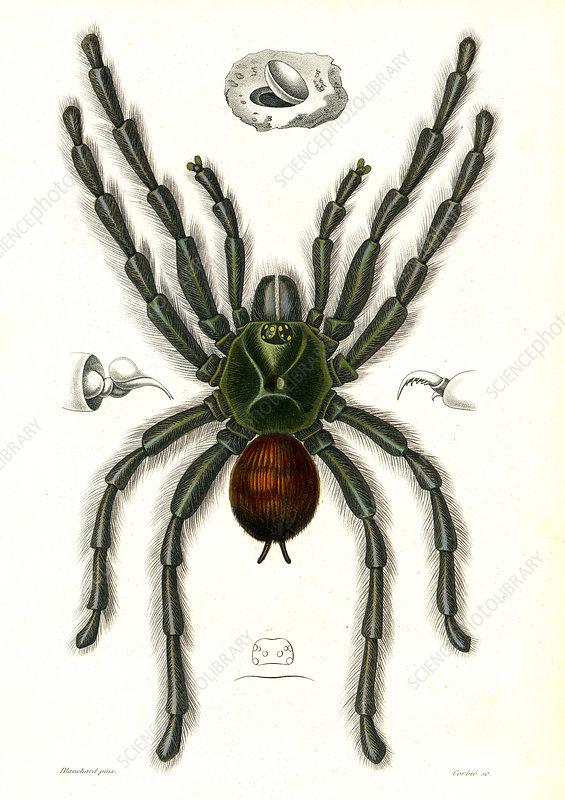 Tarantula, 19th Century illustration