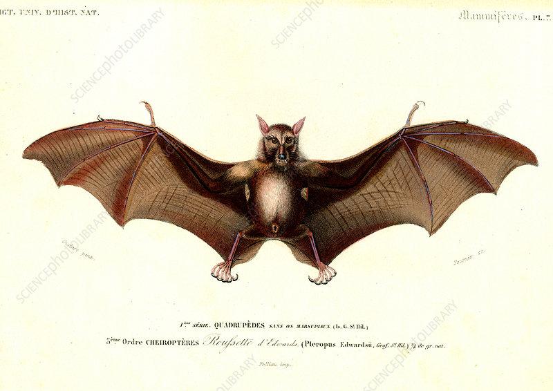 Fruit bat, 19th Century illustration