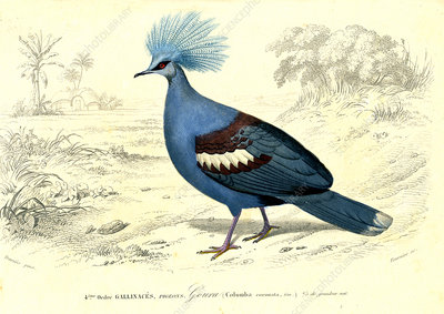 Crowned pigeon, 19th Century illustration