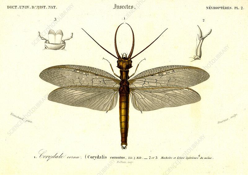 Dobsonfly, 19th Century illustration