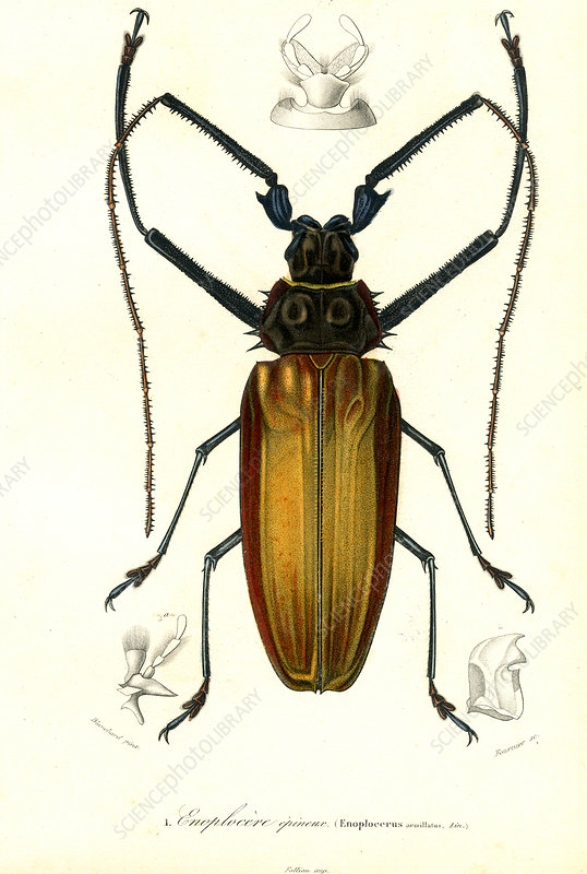 Giant longhorn beetle, 19th Century illustration