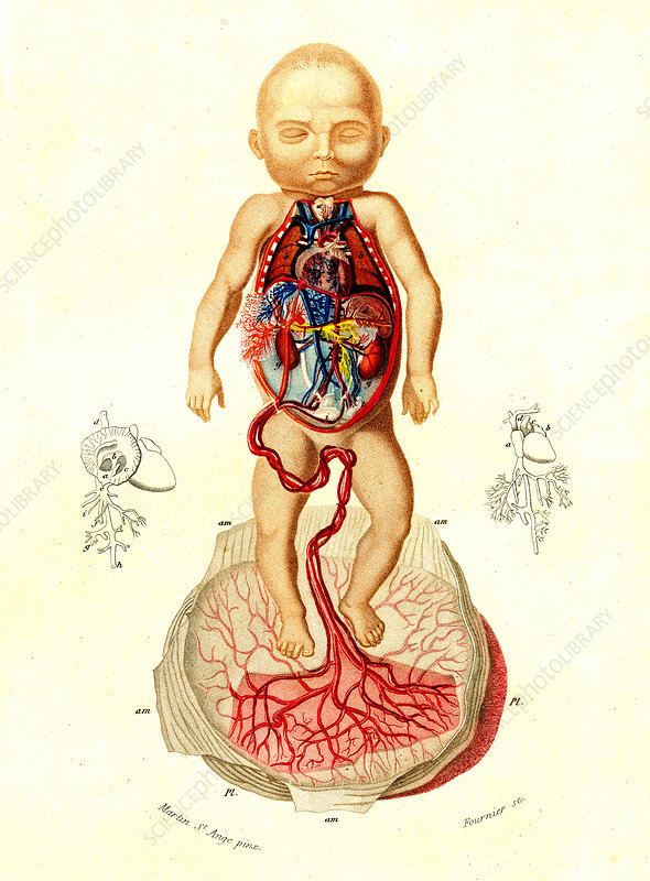 Foetal blood supply, 19th Century illustration