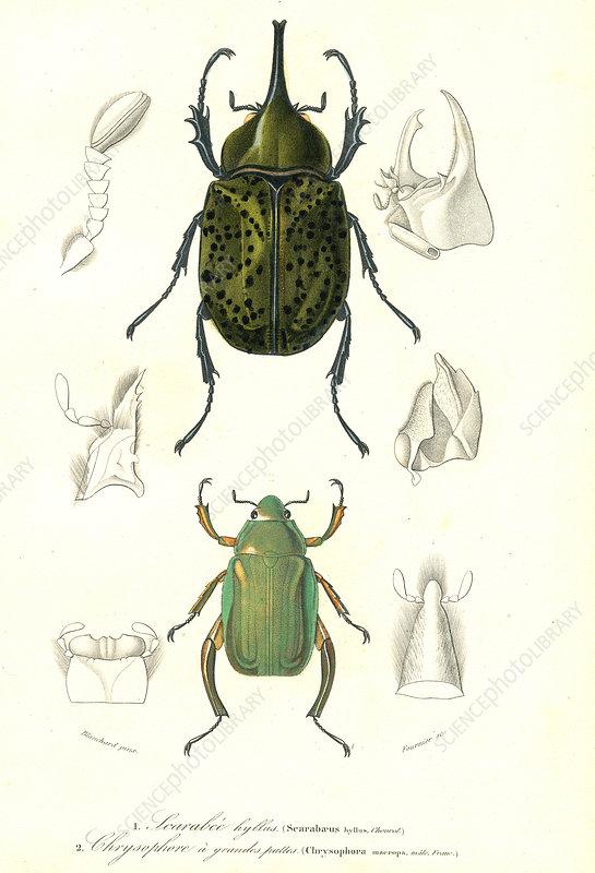 Beetles, 19th Century illustration