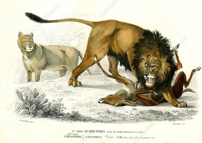 Lion, 19th Century illustration