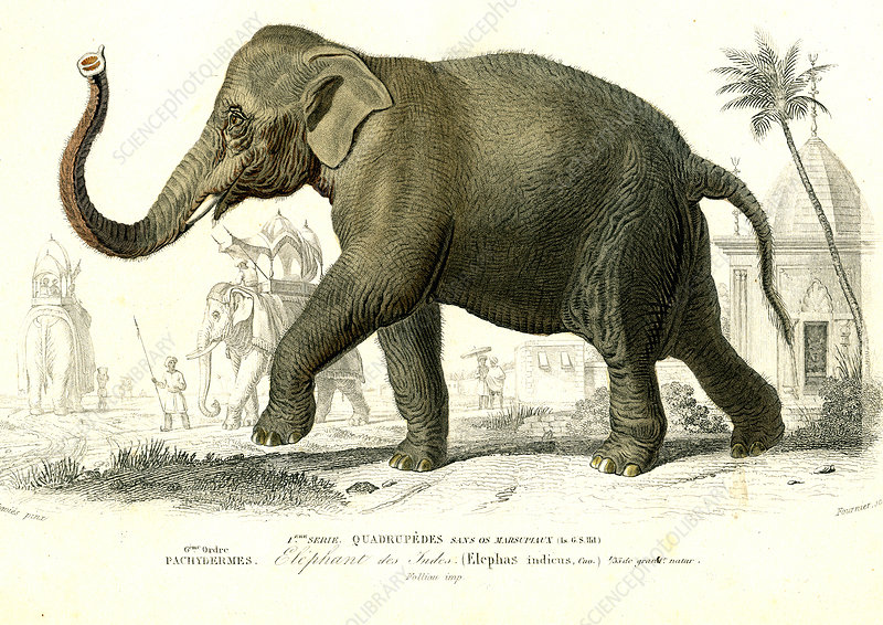 Indian elephant, 19th Century illustration