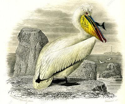 Dalmatian pelican, 19th Century illustration