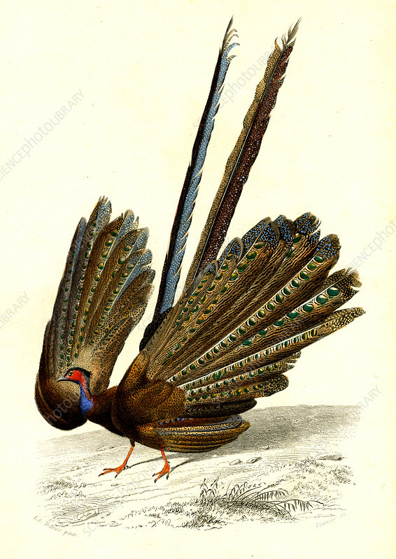 Great argus, 19th Century illustration