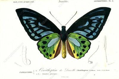 Birdwing butterfly, 19th Century illustration