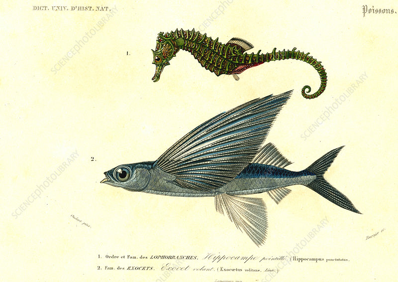 Seahorse and flying fish, 19th Century illustration