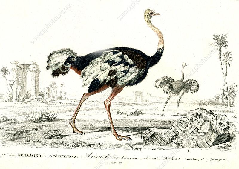 Ostrich, 19th Century illustration