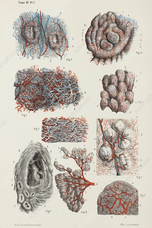 Oral mucosa and salivary glands, 1866 illustration