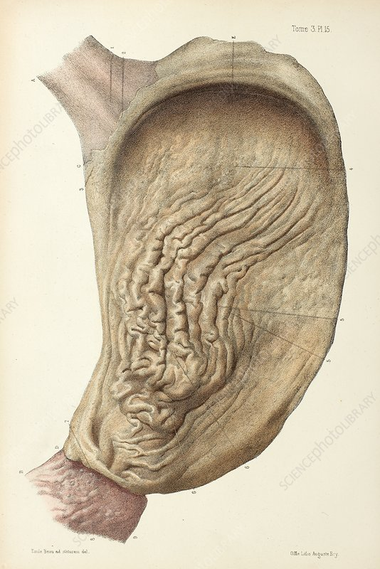 Stomach mucosa, 1866 illustration