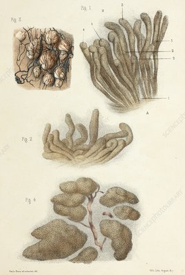 Digestive system mucosal glands, 1866 illustration