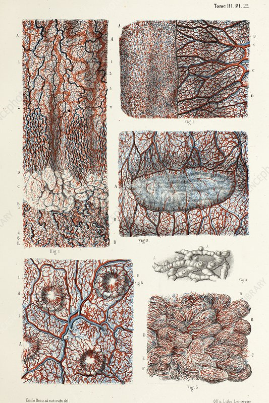 Oesophagus, stomach and intestinal mucosa, 1866 illustration