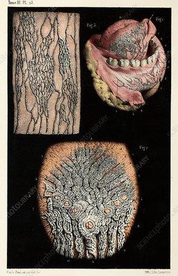 Mouth lymph vessel anatomy, 1866 illustration