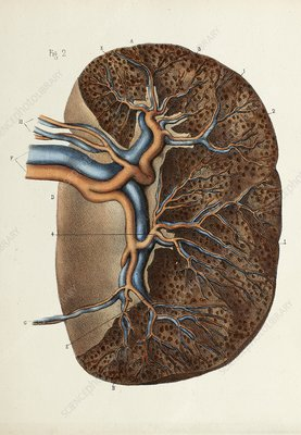 Spleen anatomy, 1866 illustration