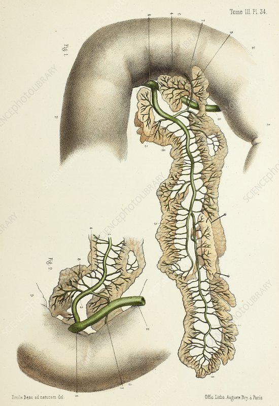 Pancreatic duct anatomy, 1866 illustration