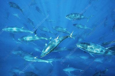 Bluefin tuna fish farm in the Mediterranean
