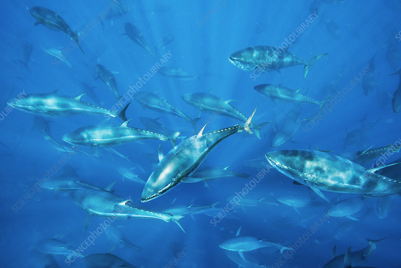 Bluefin tuna fish farm in the Mediterranean
