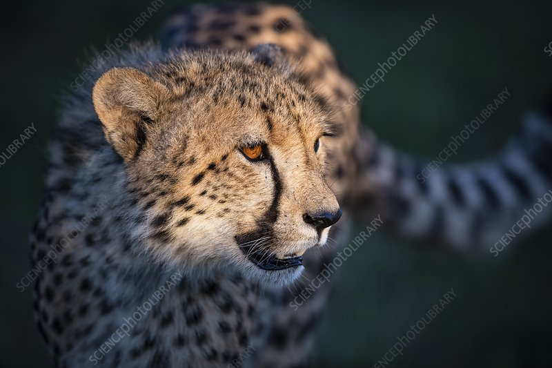 Cheetah in late afternoon light