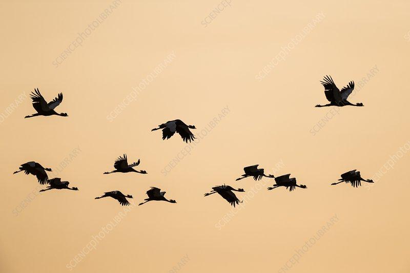 Black Crowned Crane in flight