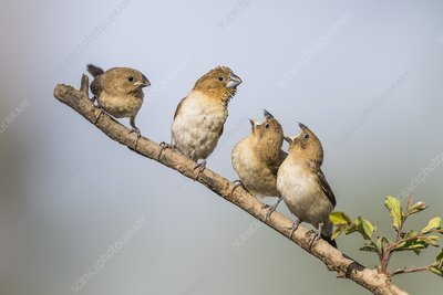 African Silverbill with begging chicks