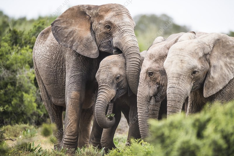 African elephants with tuskless matriarch