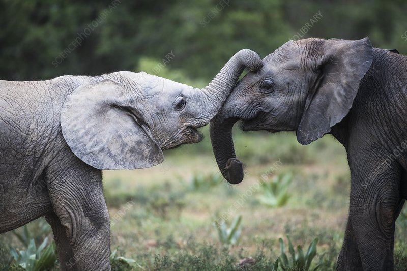 Playing African elephant claves