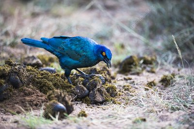 Cape glossy starling searching for insects
