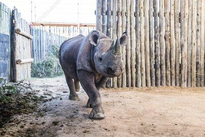 Black Rhino in capture boma