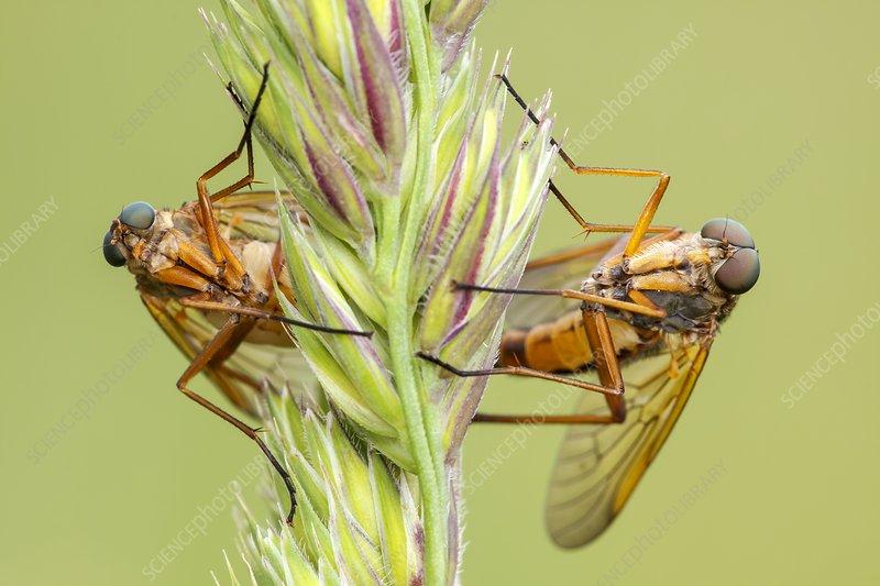 Snipe flies