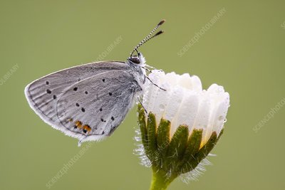 Short-tailed Blue butterfly
