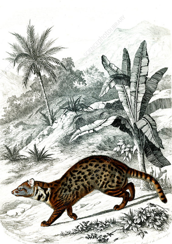 Large Indian civet, 19th century
