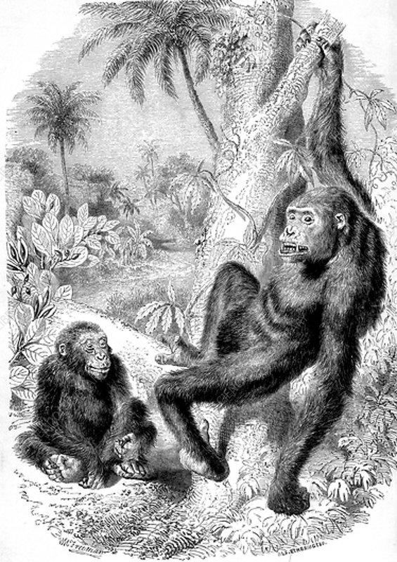 Western gorillas, 19th century