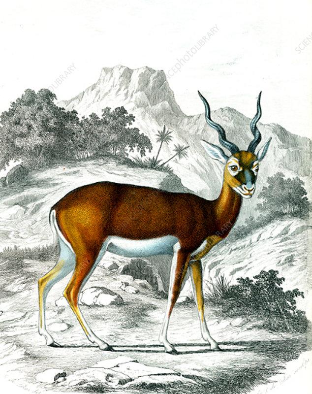 Indian antelope, 19th century