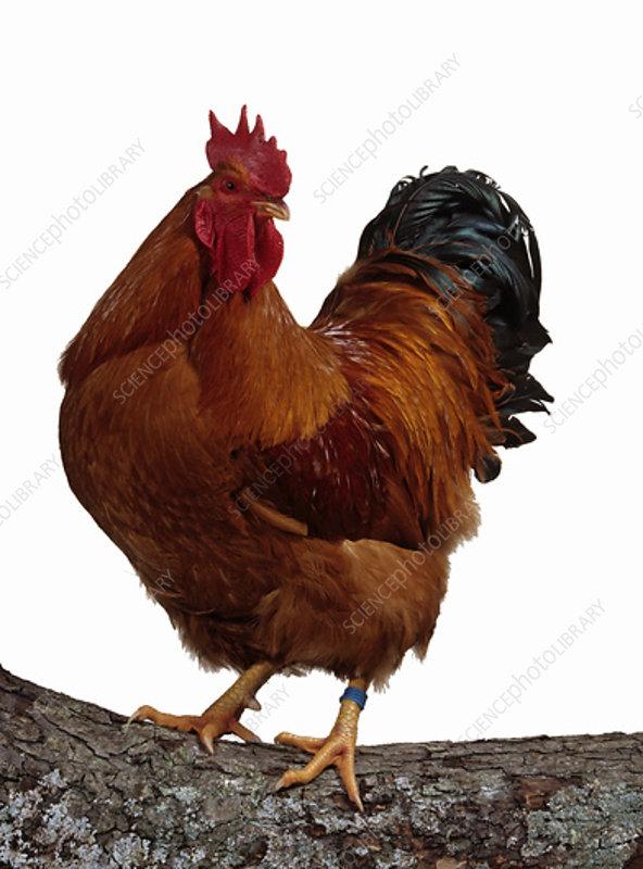 New-Hampshire Hen, cock