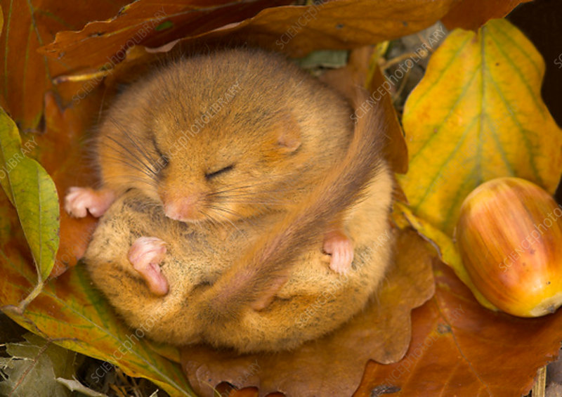 Hazel Dormouse hibernating amongst leaves and acorns