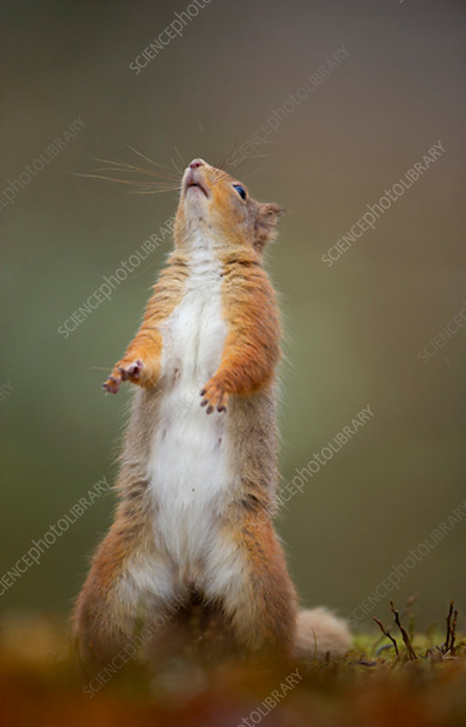 Red Squirrel adult standing