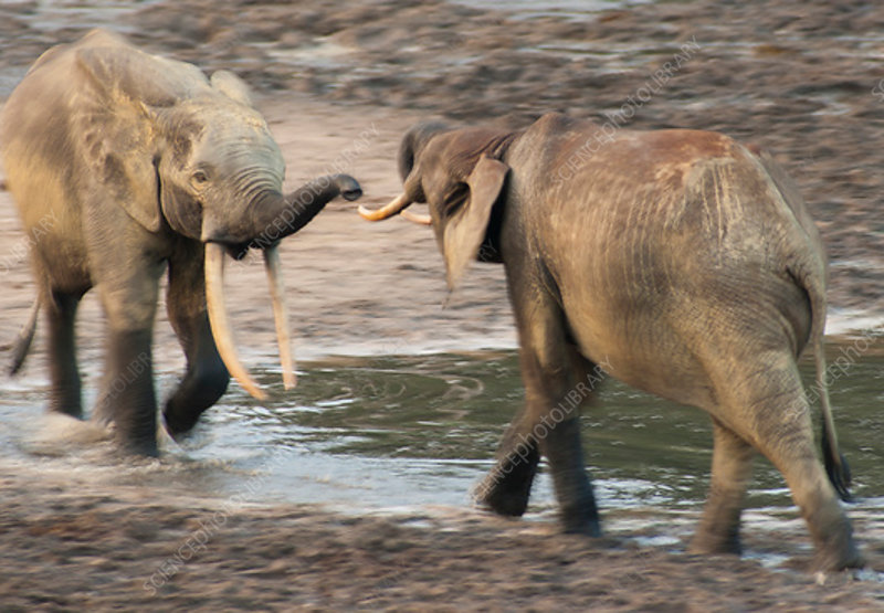 African Forest elephant two bulls sparring