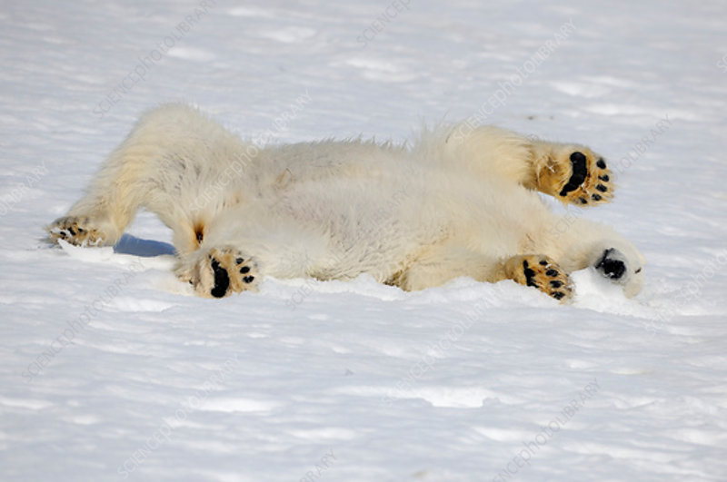 Polar Bear stretching out in snow, Svalbard, Norway